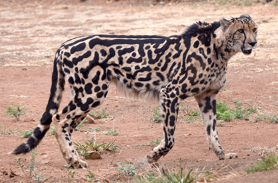 king cheetah 10 facts about cheetahs