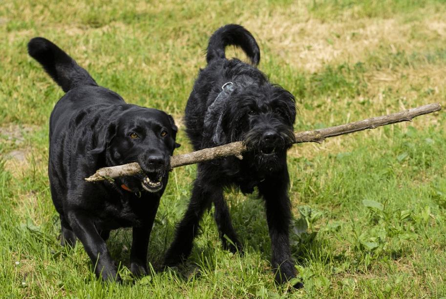 Golden retriever and Labradoodle