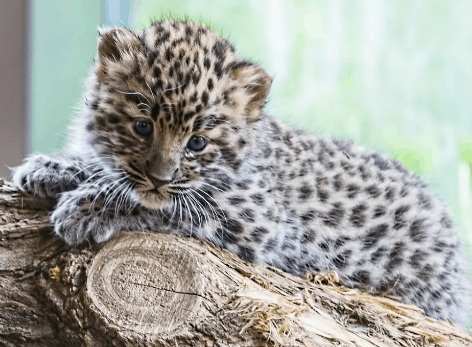 baby leopard facts