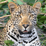 28 Amazing Facts About Leopards