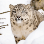 Top 15 Amazing Facts About Snow Leopards