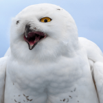 Top 10 Fun Facts About Snowy Owls