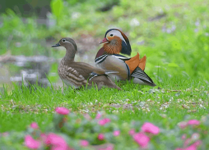 Mandarin ducks monogamous