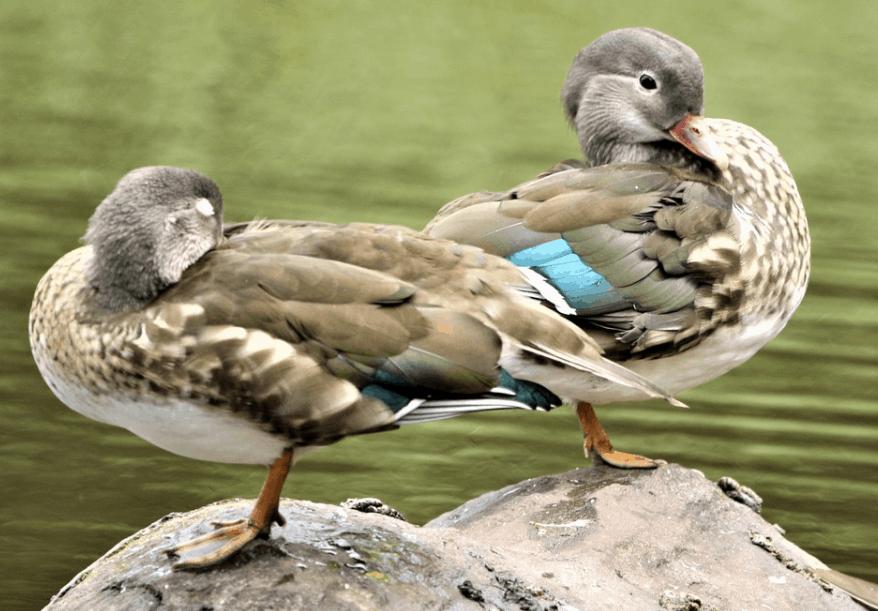 mandarin duck molt
