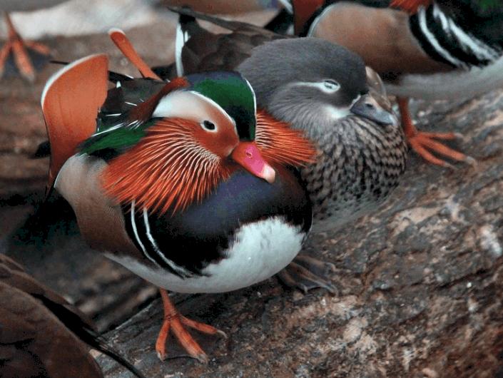 mandarin ducks fun facts