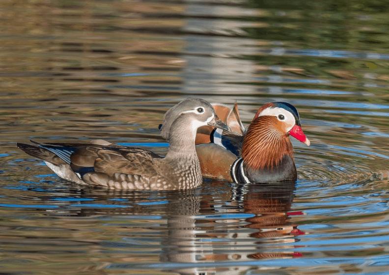 Mandarin ducks in the water
