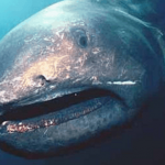 17 Rare Facts About The Megamouth Shark