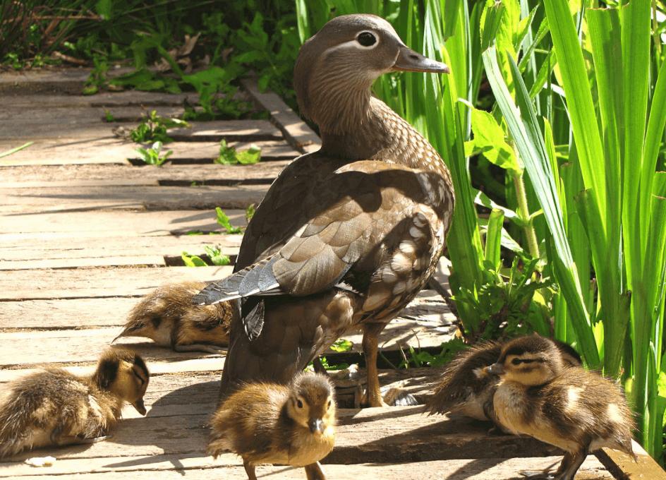 mandarin duck and ducklings