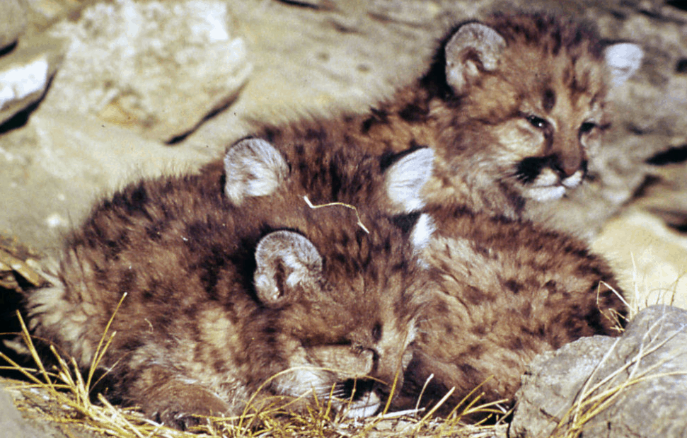 mountain lion cubs in the nest