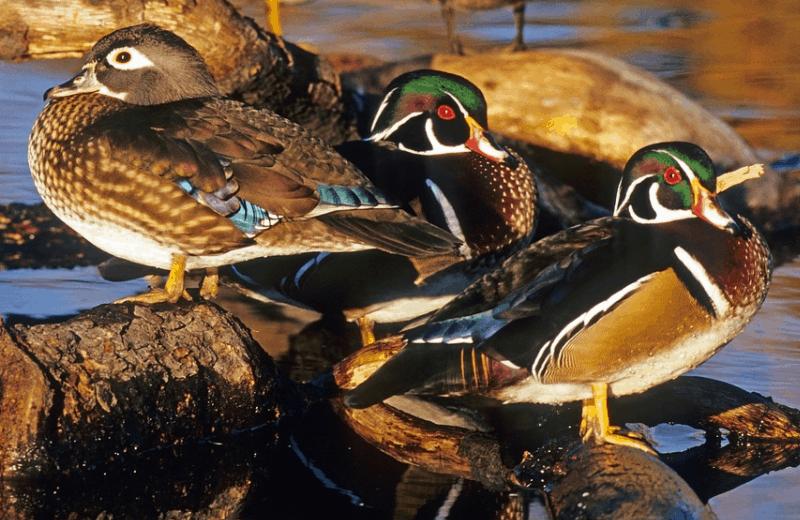 facts about mandarin ducks