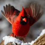 17 Interesting Northern Cardinal Facts
