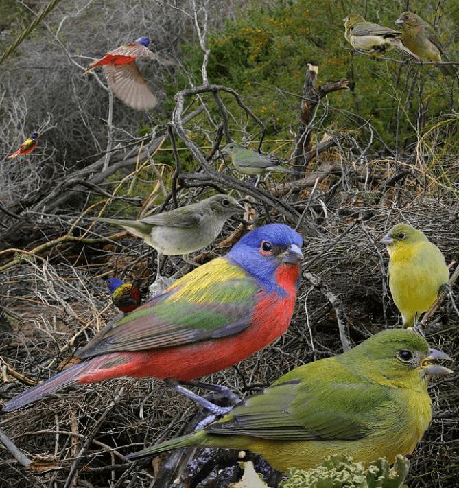 Painted buntings multiple birds