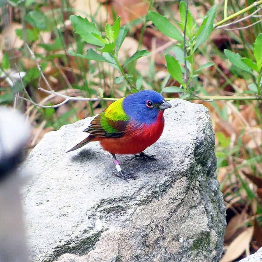 Painted bunting facts