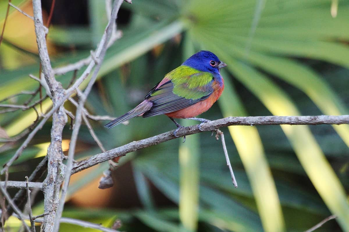 Painted buntings interesting facts