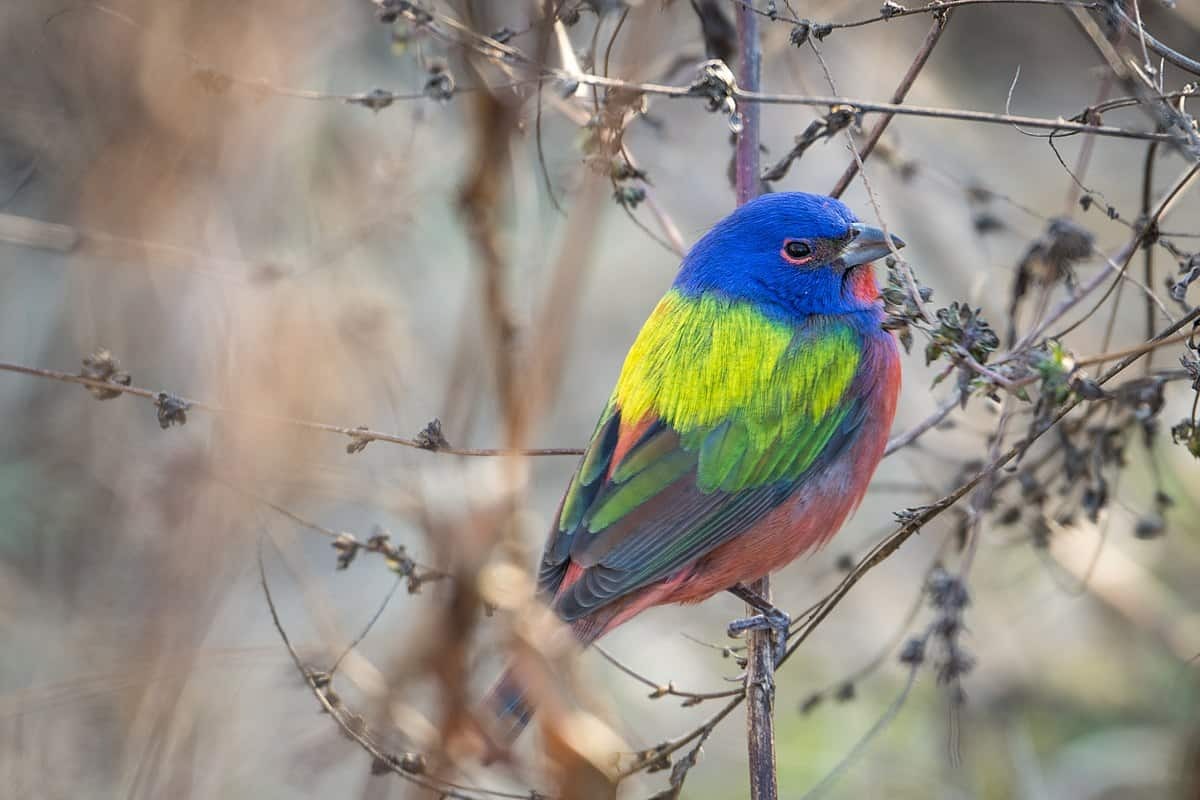 Fun facts about Painted buntings