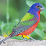 12 Fun Facts About Painted Buntings