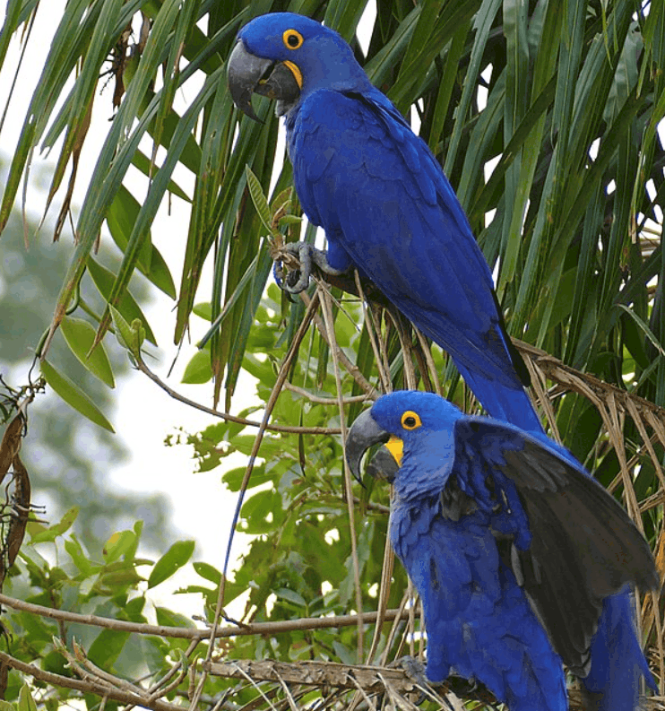 pair of hyacinth macaws
