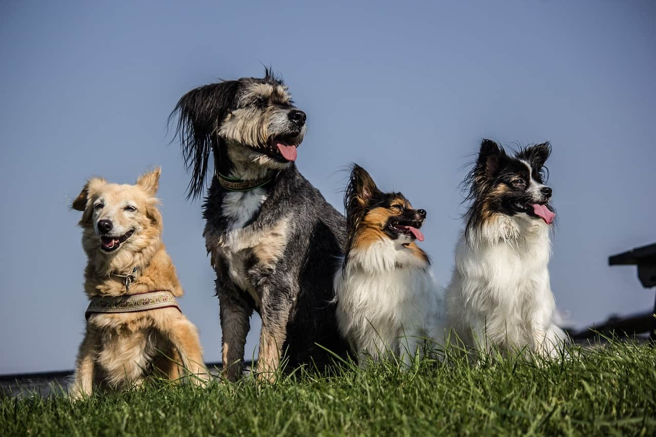 Papillon and other dogs
