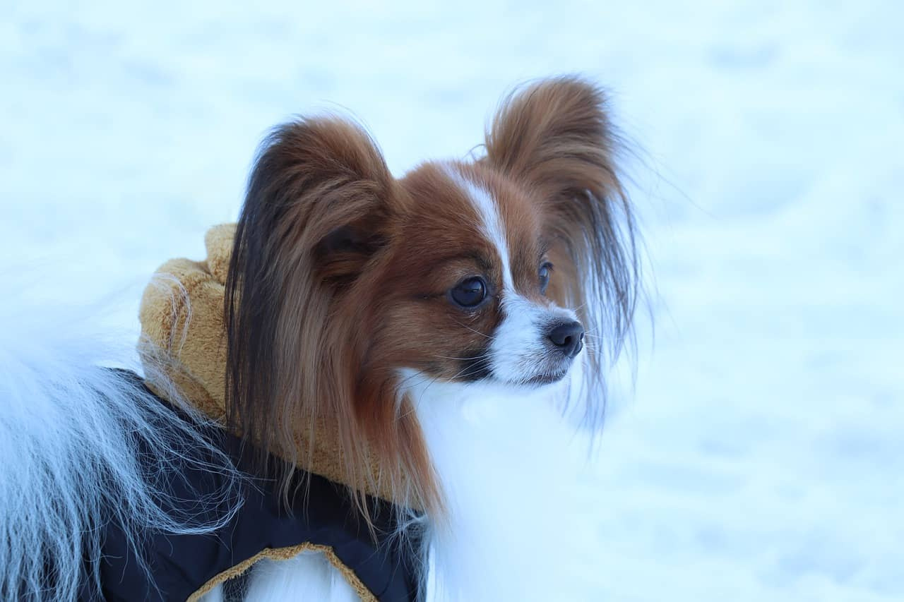 Papillon in the snow
