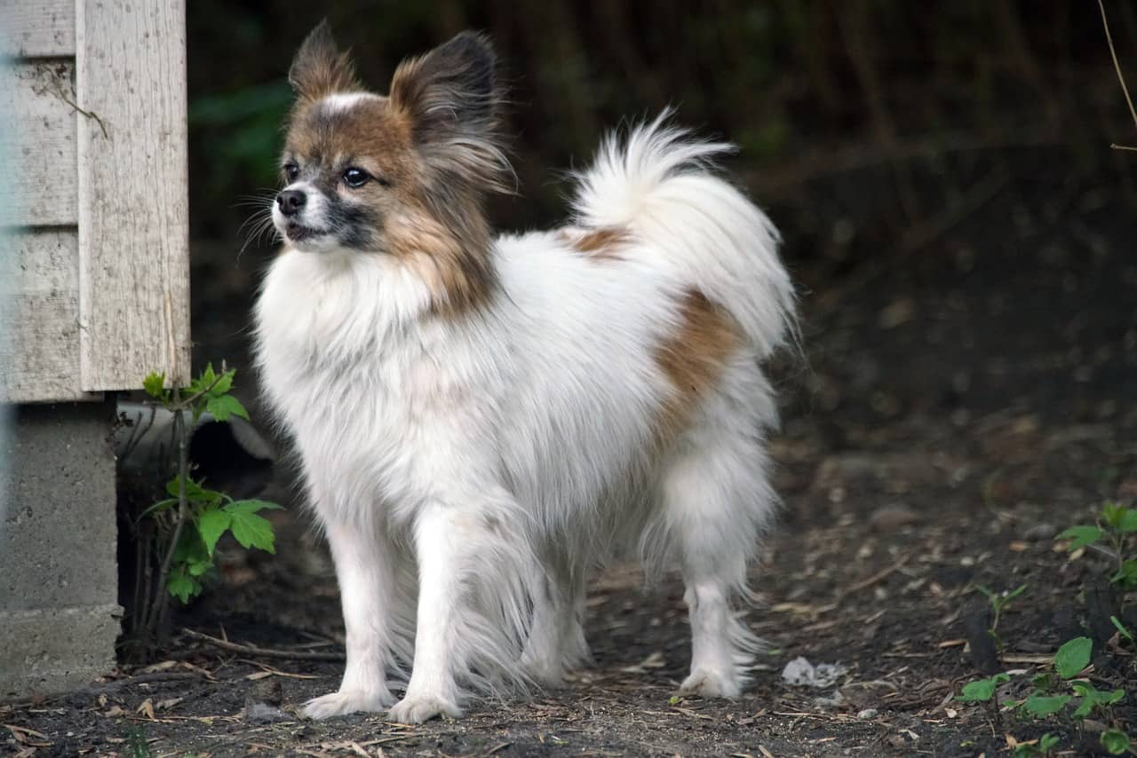 Papillon cool facts
