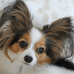 12 Fun Facts About Papillons