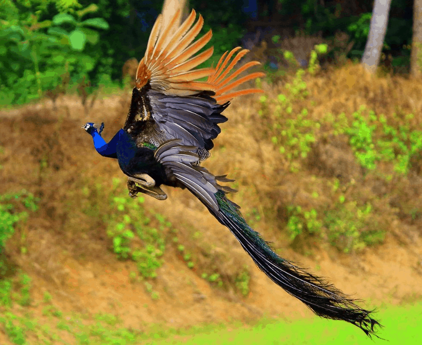a flying peacock