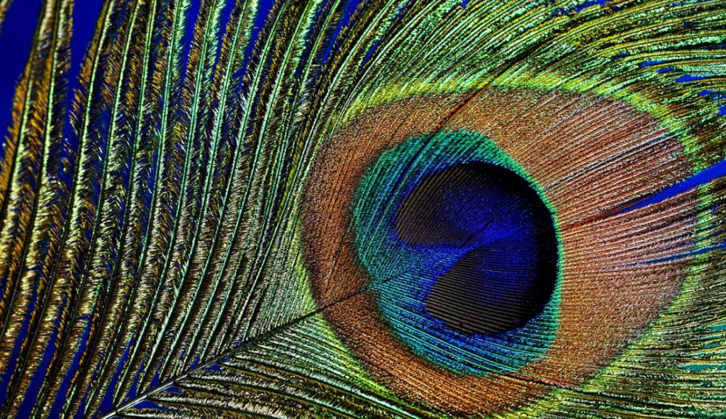peacock shiny feathers
