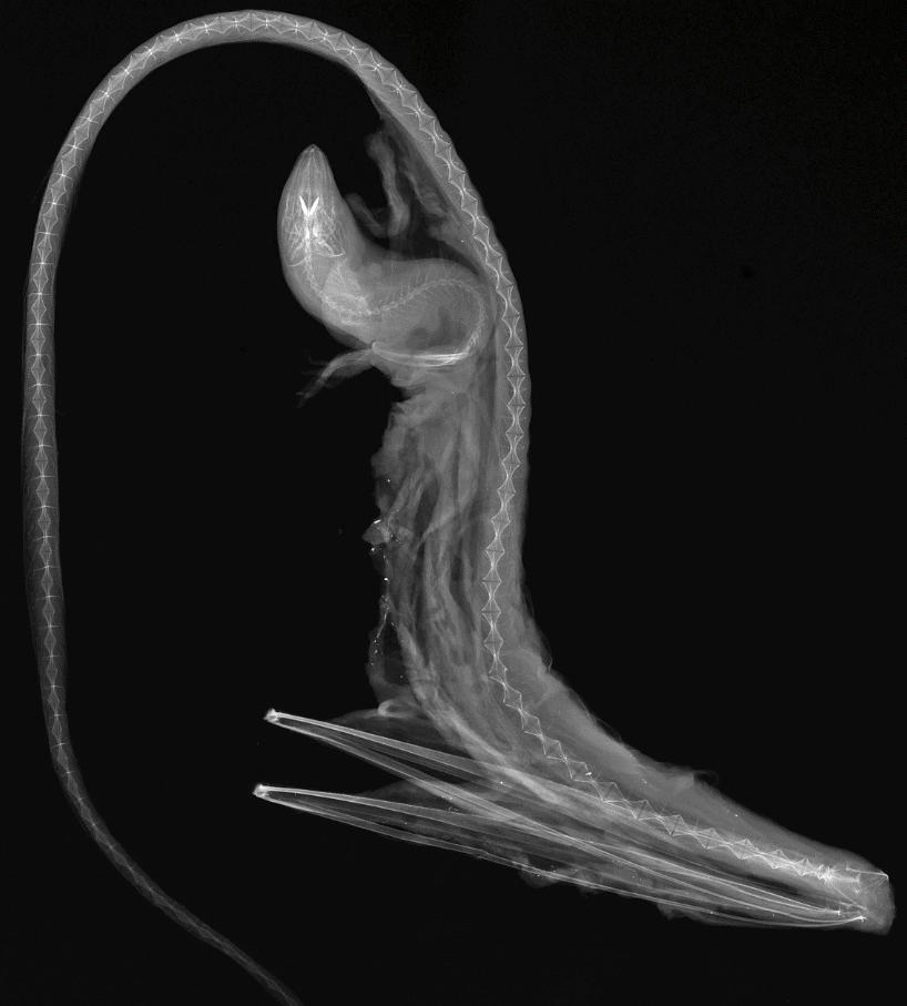gulper eel xray