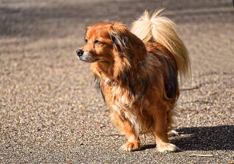 Papillon with dropped ears called phalène