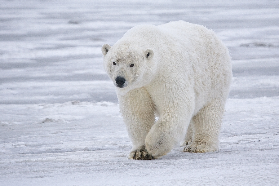 Polar bear different types of bears in the world