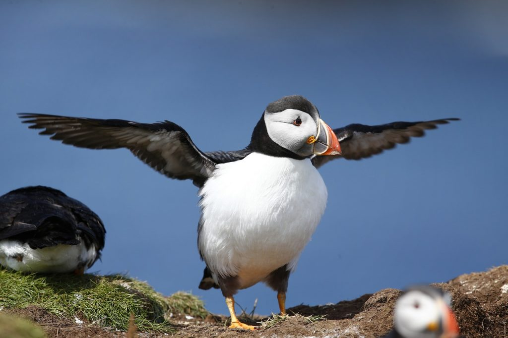 How big are puffins
