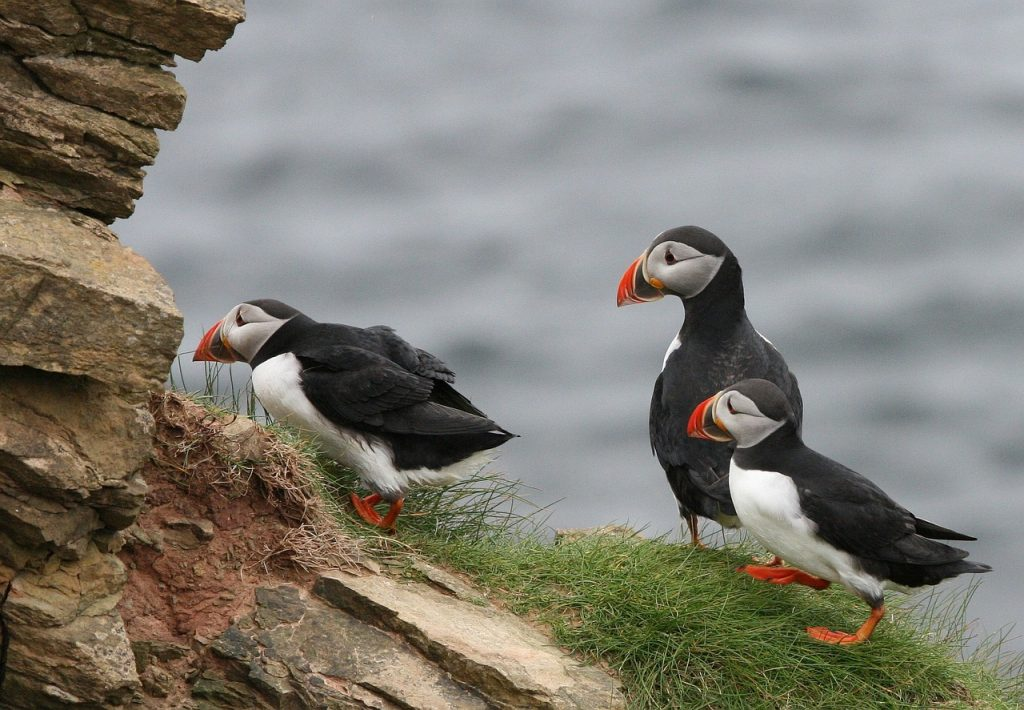 puffins fun facts