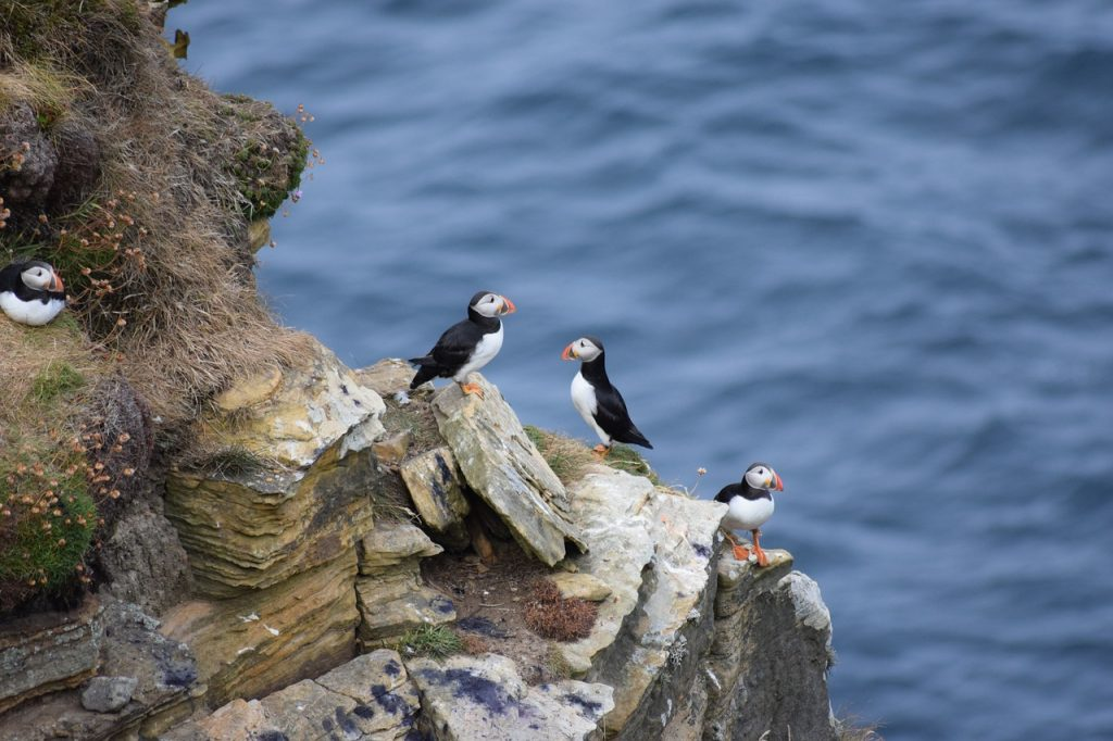 Puffins on an island