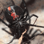 12 Scary Redback Spider Facts