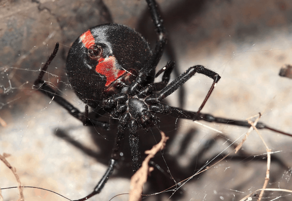 Scariest spiders in the world redback spider female