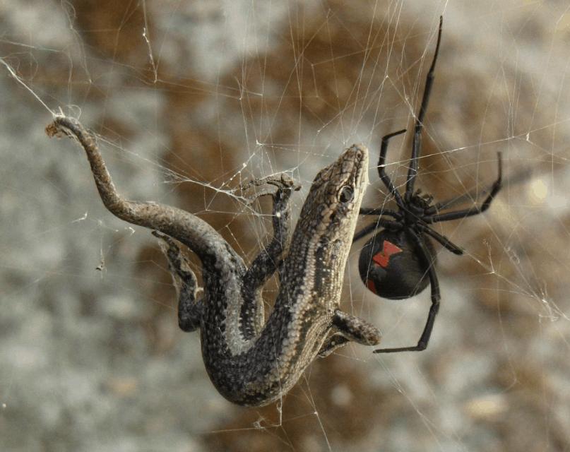 redback spider and lizard