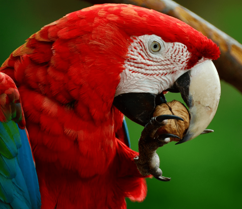 Scarlet Macaw eating a nut
