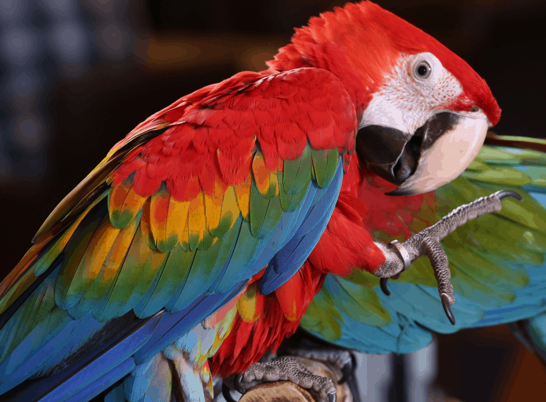 Scarlet Macaw fun facts