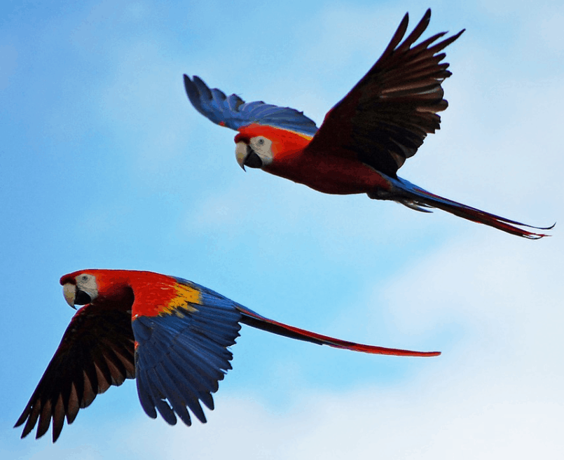 Scarlet Macaw flying