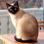 Top 12 Beautiful Facts About Siamese Cats