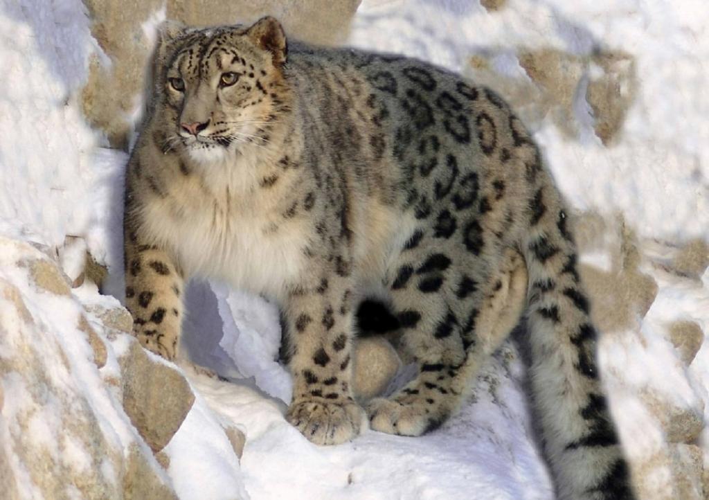 snow leopard hunting