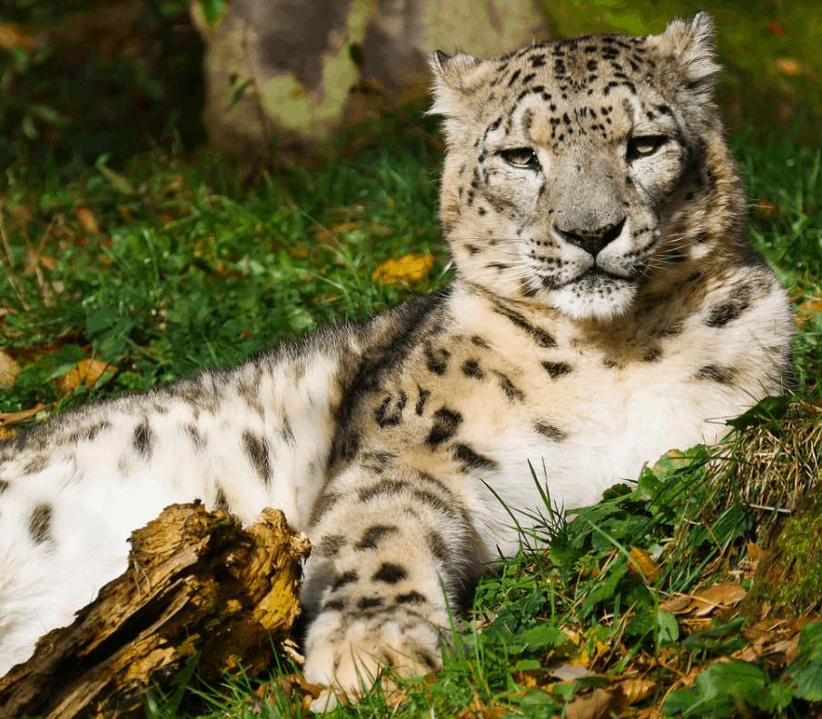 Snow leopard lying around