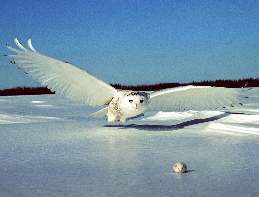 snowy owl hunting mice