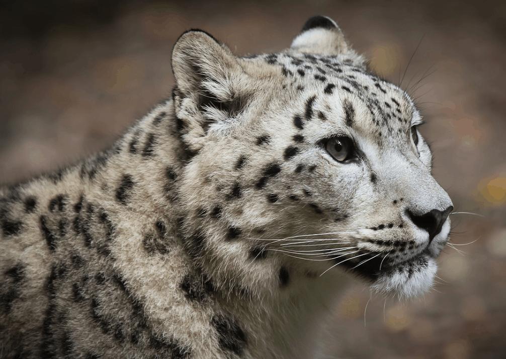 Snow leopard subspecies