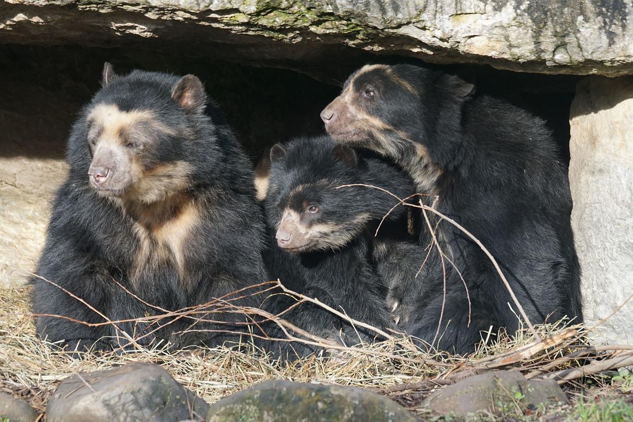 Spectacled bear family