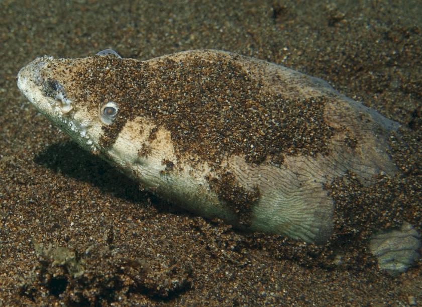 Stargazer eel, a particular type of stargazer species