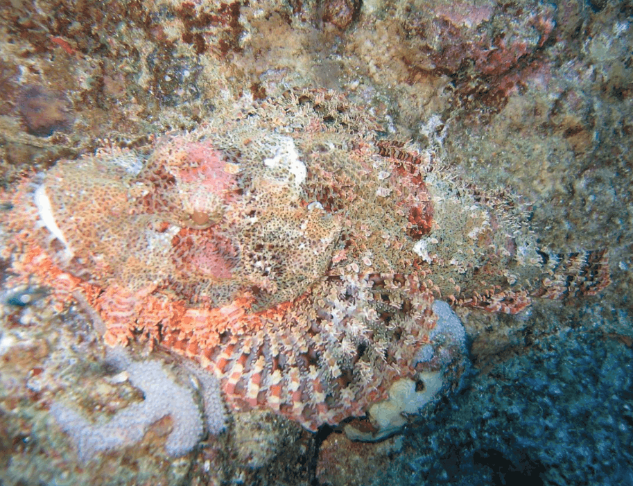 stonefish blending in with surroundings
