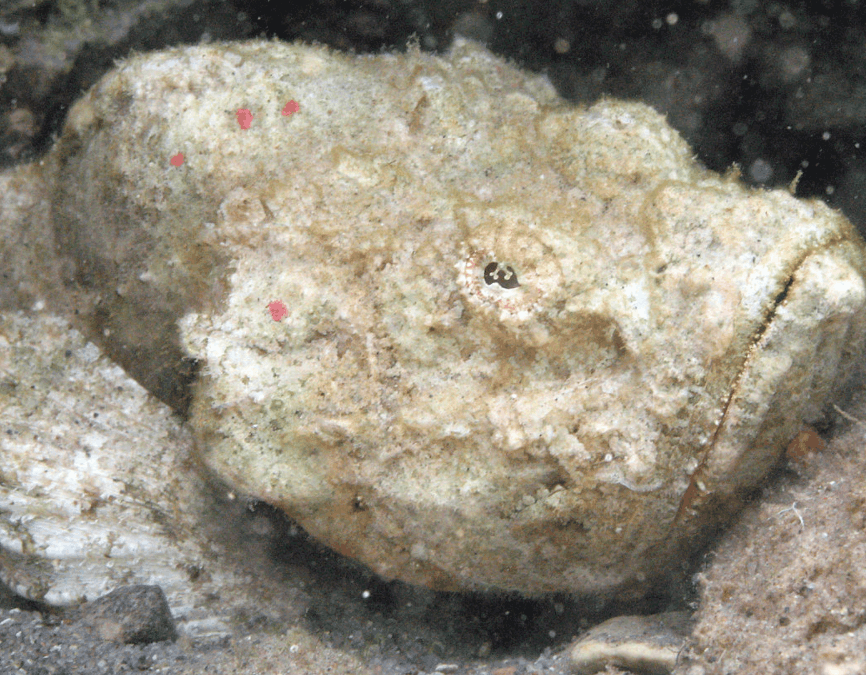 stonefish ready to attack