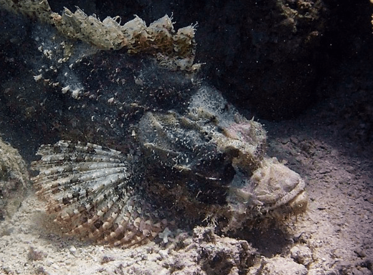 stonefish pointy blade on top of their head