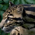 10 Interesting Sunda Clouded Leopard Facts